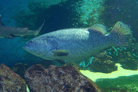 grouper: Large specimen of giant grouper, the largest bony fish of over 3 meters.He lives mainly in the coral reef, feeding on fish, small sharks and sea turtles