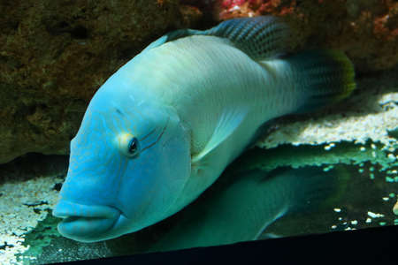 labridae: Fine specimen of humphead wrasse, big fish typical of the reef