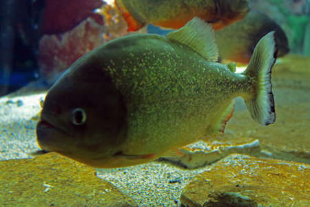 voracious: Close up piranha red Stock Photo