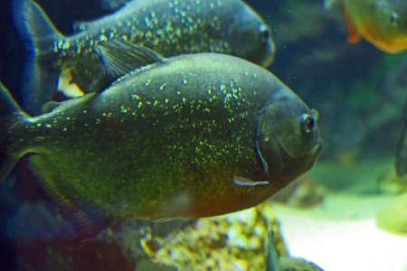 carnivorous fish: Couple red piranha, voracious predator of South America