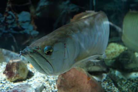 prehistoric fish: Close up of Arowana. This primitive fish has the peculiarity of being portatili do jumps up to 2 meters outside the toilet. Stock Photo