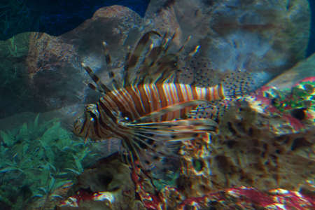 spines: Photo of a red lionfishPterois volitans. This fish has large venomous spines