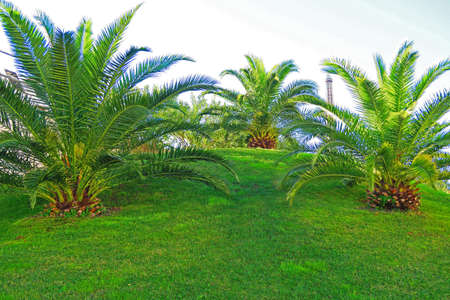 canariensis: 3 young Canarian palm phoenix canariensis, graceful ornamental palms