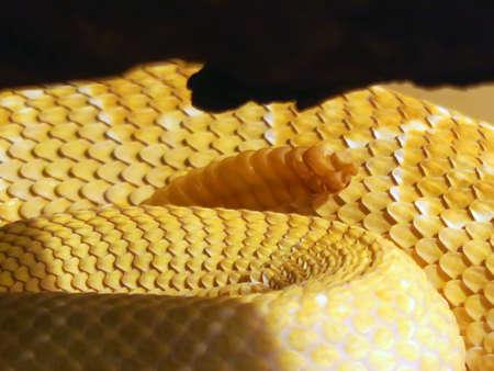 serpiente de cascabel: Cierre de ruido de una serpiente de cascabel de Diamondback occidental, es una especie de serpiente de cascabel venenoso en los Estados Unidos y M�xico.