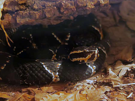 lethal: Close up of a Mexican cantil viper, a venomous viper species found in Mexico and Central America.