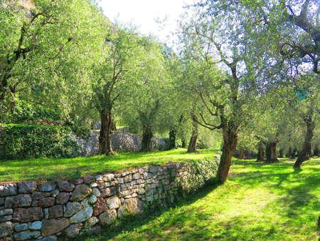 olive groves: Olive groves in Torbole on Lake Garda, Trentino, Italy