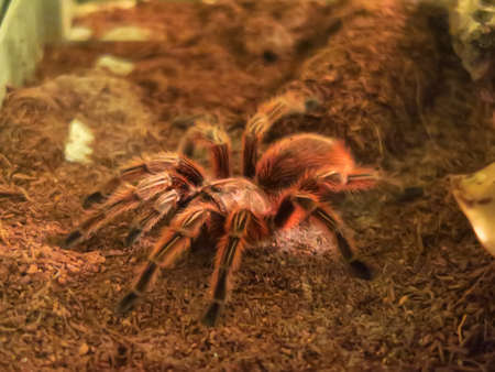 exemplary: Exemplary of Chilean rose tarantula, a species of tarantula that lives in South America. Stock Photo