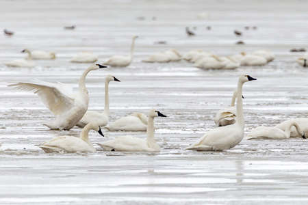 Tundra swans in an icy marsh on their migration north for the summer Banco de Imagens