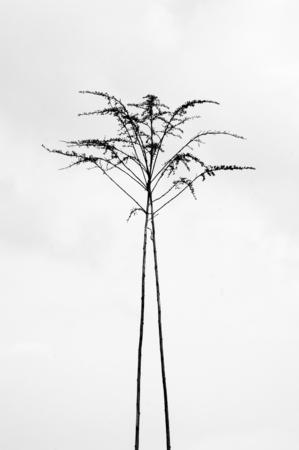 ascending: Two fragile stalks of a grass plant ascending. Stock Photo