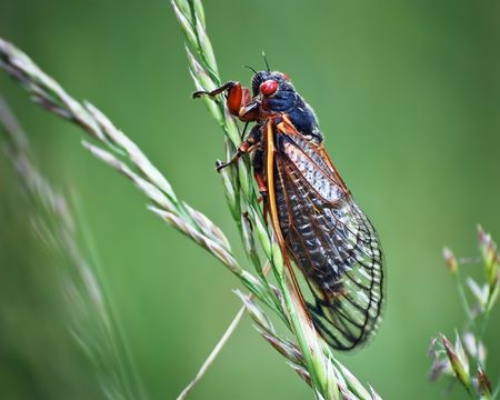 A cicada insect on a green background with a blade of grass and plenty of room for copy. The cicada bug is often called a locust. Stock Photo