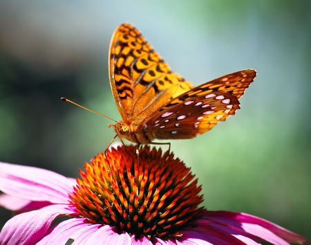 Spotted Orange Spring Butterfly sitting on Pink Flower Stock Photo - 3528860