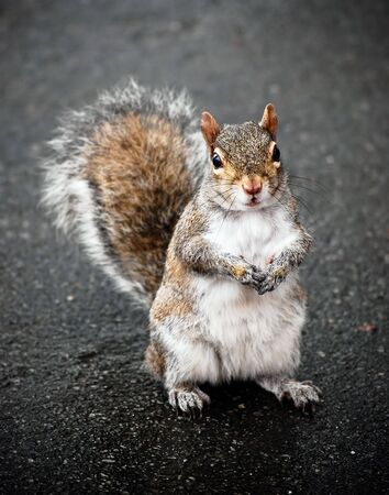 Gray Squirrel with Red Fur Holding Hands Begging On Pavement