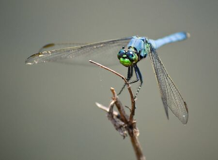 Creepy Blue Dragonfly Insect w Huge Eyes On Wood Branch