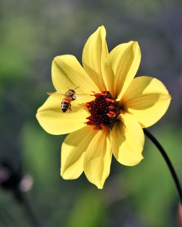Flying Bee Captured In Flight w Yellow Flower Petals and stem and blurry green bokeh background Stock Photo