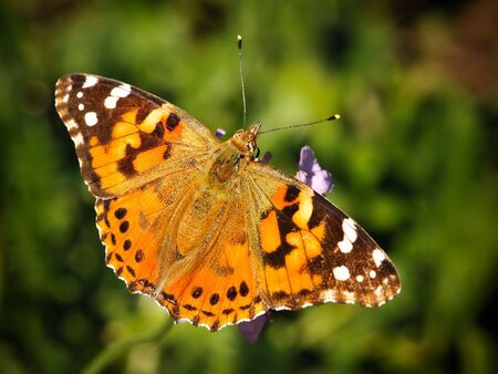 Furry Spotted Orange Spring Butterfly sitting on Green Vegetation with wings spread open and aperture blurred background