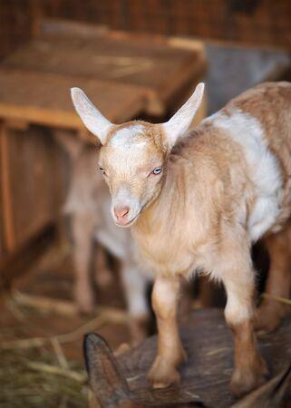 Barn Yard Farm Animal Baby Billy Goat