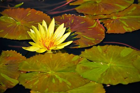 waterlillies: Yellow Waterlily Flower in Pond w Green Lily Pads in image of peaceful japanese water garden Stock Photo