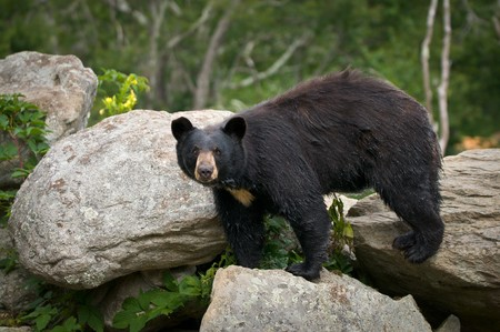black granite: Black Bear Animal Wildlife in Western North Carolina Mountains