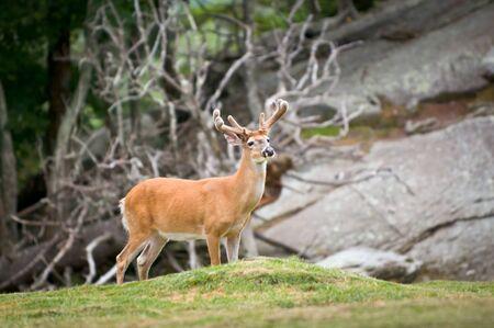 White Tailed Deer Animal Wildlife in Western North Carolina Mountains