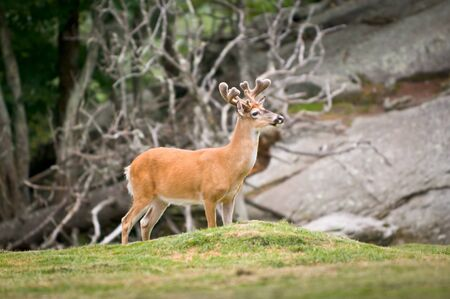 Animal Wildlife White Tailed Deer in Western North Carolina Blue Ridge Mountains