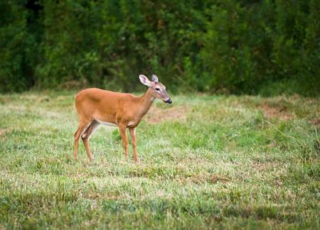Outdoor Mammal Wildlife White Tail Doe Deer in field of green grass
