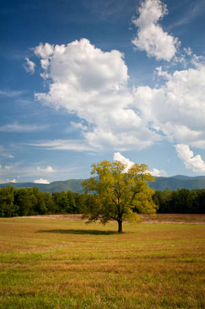 Lonely Oak Tree Landscape In Cades Cove Hay Field during late summer Stock Photo