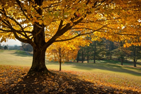 Golden Fall Foliage Autumn Yellow Maple Tree on golf course fairway in seasonal mountains