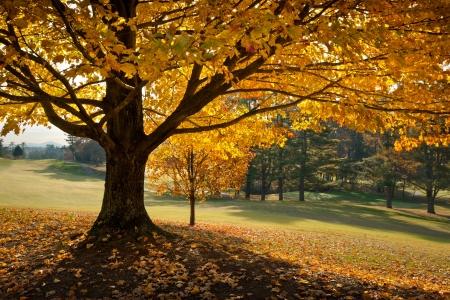 early: Golden Fall Foliage Autumn Yellow Maple Tree on golf course fairway in seasonal mountains