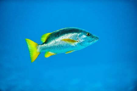 Tropical Silver Fish in Caribbean Reef Deep Blue Sea Water showing shiny scales and yellow fins Stock Photo