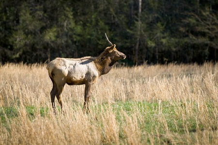 Elk Wildlife Photography in Great Smoky Mountains National Park Cataloochee Valley Stock Photo