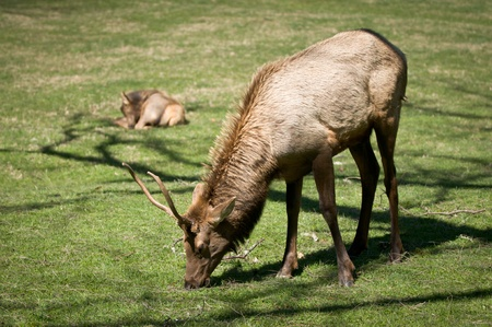 Great Smoky Mountains National Park Elk Wildlife Photography in Cataloochee Valley Stock Photo