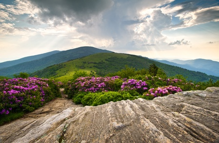 roan: Rhododendron Bloom on Blue Ridge Appalachian Trail Roan Mountains Peaks scenic landscape