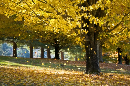 Fall Foliage Yellow Maple Leaves Falling From Tree in Autumn with squirrels and morning sunlight photo