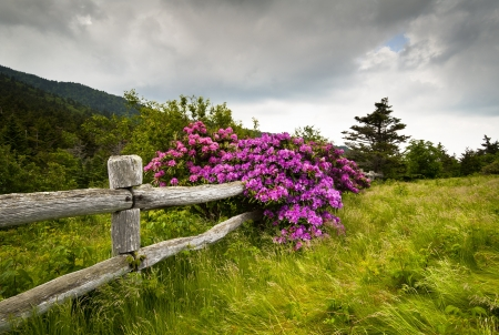 Roan Mountain State Park Carvers Gap Rhododendron Flower Blooms Nature outdoors with wooden fence Stock Photo