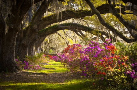 southern: Charleston SC Plantation Live Oak Trees Spanish Moss Azalea Flowers Blooming Spring Blooms