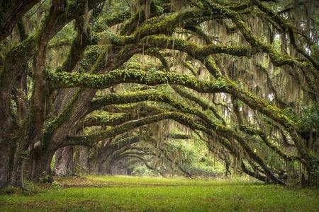 Oaks Avenue Charleston SC plantación de Live Oak árboles del paisaje forestal en la Cuenca del ACE de Carolina del Sur lowcountry Foto de archivo