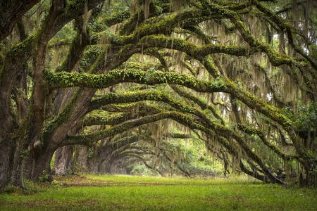 Oaks Avenue Charleston SC Plantage Live Oak Bäume Waldlandschaft in ACE Basin South Carolina Lowcountry Standard-Bild - 13882329