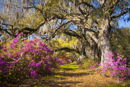 Spring Flowers Charleston SC Azalea Blooms Deep South Landscape Photography with live oak trees in morning sunlight Stock Photo