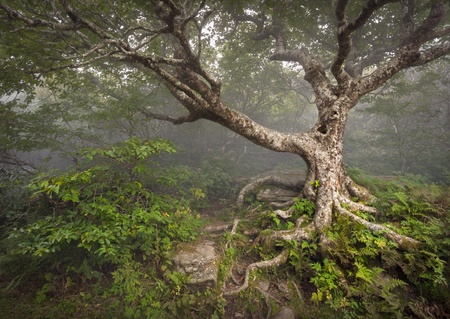 Creepy Fairytale Tree Spooky Forest Fog Appalachian Stock Photo