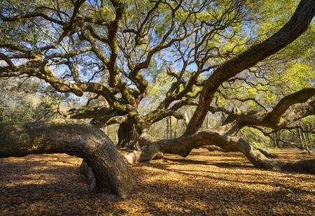 roble arbol: Carolina del Sur Lowcountry Angel Oak Tree Charleston SC naturaleza esc�nica fotograf�a de paisaje de primavera Foto de archivo
