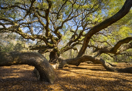 oak tree: South Carolina Lowcountry Angel Oak Tree Charleston SC Nature Scenic spring landscape photography