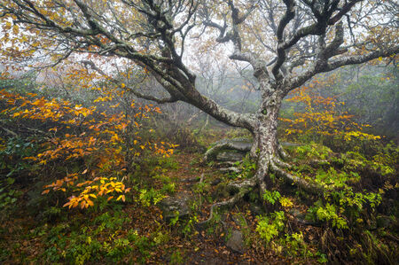 Craggy Gardens North Carolina Blue Ridge Parkway Autumn NC scenic landscape featuring foggy conditions around an old beech tree in the fog during the fall foliage
