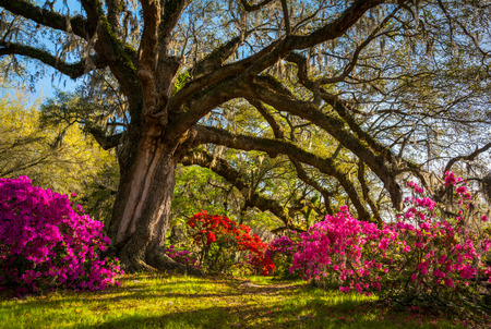 Spring Flowers Bloom at Charleston South Carolina Plantation under Live Oak Trees