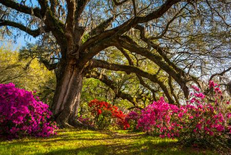 Spring Flowers Bloom at Charleston South Carolina Plantation under Live Oak Trees
