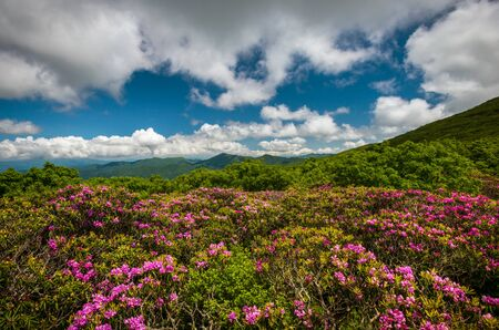 Blue Ridge Parkway Spring Flowers Appalachian Rhododendron Bloom Asheville NC in the mountains of Western North Carolina
