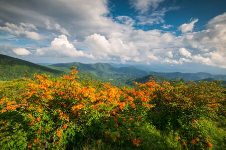 Flame Azalea flowers blooming wild along the Appalachian Trail in the scenic Blue Ridge Mountains on the border of Western North Carolina and Eastern Tennessee. The spring flowers blooming along the hiking trail in the Roan Mountain Highlands is always an amazing sight