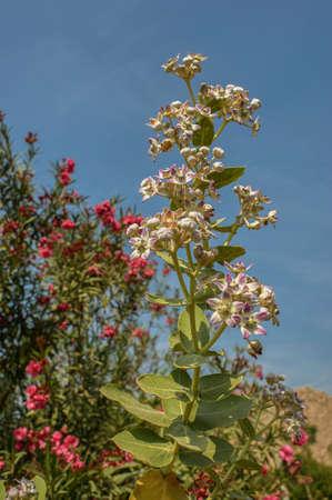 Flowers of rui calotropis gigantea Idar sabarkantha North Gujarat INDIA asia