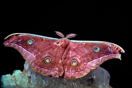 20 Mar 2020 tattered Emperor Moth studio shot in black background MumbaiMaharashtra India