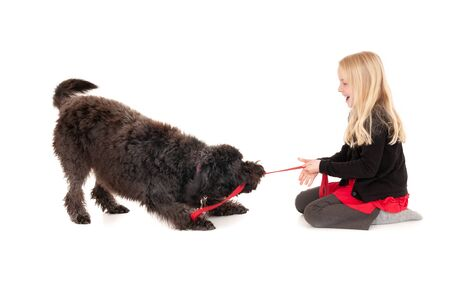 Young blonde girl laughing while playing tug of war with black labradoodle. Isolated on white studio background