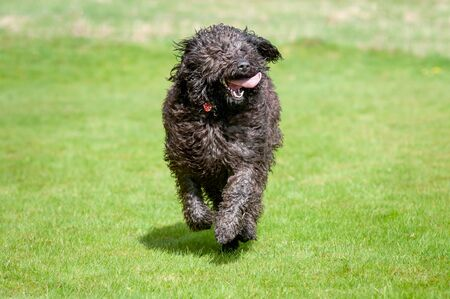 Black labradoodle dog running towards camera with its tongue sticking out Foto de archivo - 150111502